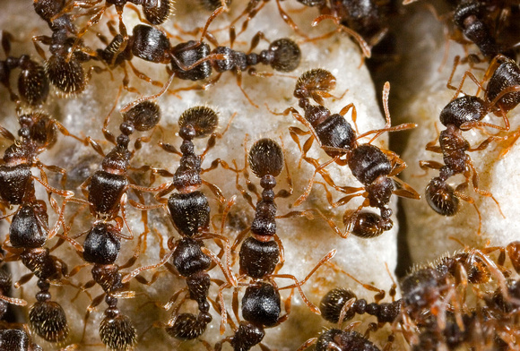 Ant Aggregation - 1