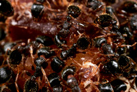 Ant Aggregation - 4