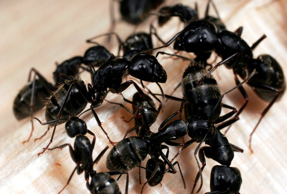Ant Aggregation - 8