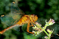 Dragonfly - 2
