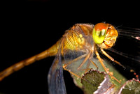 Dragonfly - 9