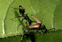Ant with Prey - 1
