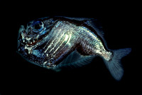Hatchetfish - 1