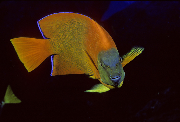 Clarion Angelfish - 1