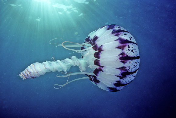 Purple-stripe Jelly - 5