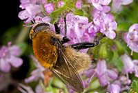 Bee Fly - 6